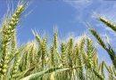 Buğdayda yüksek verim için doğru ekim teknikleri